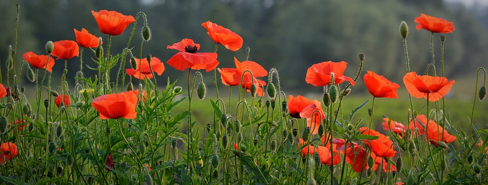 poppies, cemetery, BillionGraves, Remembrance Day, Veterans, World War I, history, family history, genealogy, BillionGraves, ancestry, ancestors, heritage, November 11th